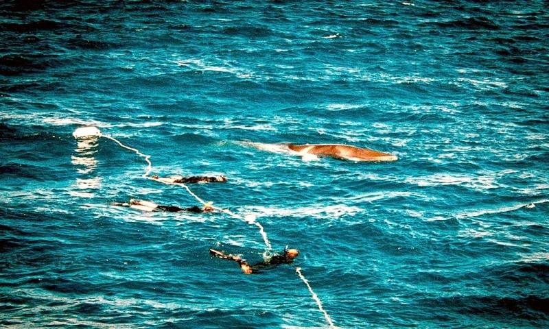 Dwarf Minke Whale