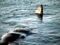 Dwarf Sperm Whale