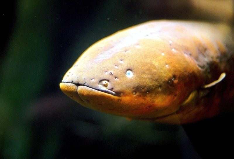 Electric Eel