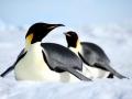 Emperor Penguin