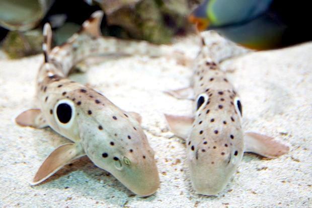 Epaulette Shark Quot Ocean Treasures Quot Memorial Library