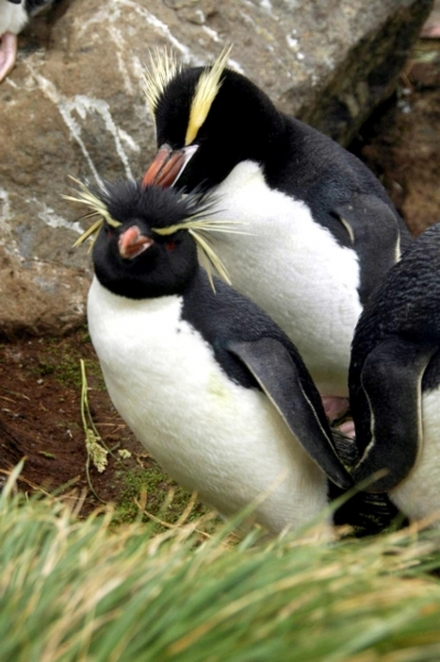 Erect-crested Penguin