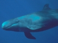 False Killer Whale