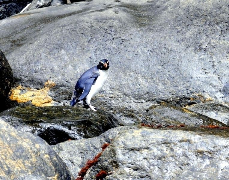 Fiordland-crested Penguin