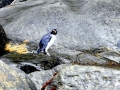 Fiordland-crested Penguin