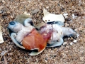 Flatback Sea Turtle