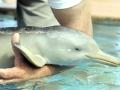 Franciscana Dolphin