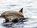 Fraser's Dolphin