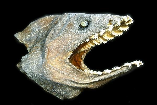 """Frilled Shark – """"OCEAN TREASURES"""" Memorial Library"""