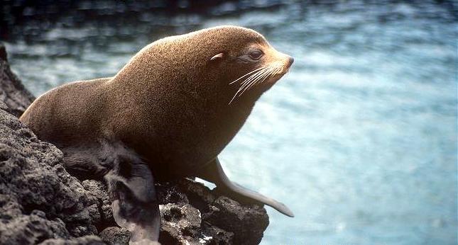 """Galápagos Fur Seal – """"OCEAN TREASURES"""" Memorial Library"""