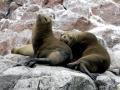 Galápagos Fur Seal