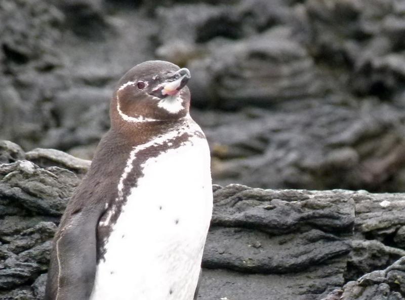 Galápagos Penguin