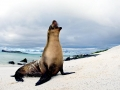 Galápagos Sea Lion