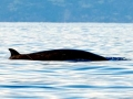 Gervais' Beaked Whale