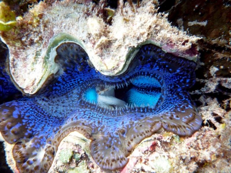 Giant Clam Ocean Treasures Memorial Library
