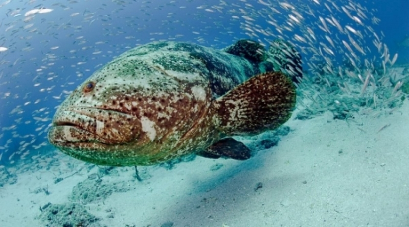 Giant grouper ocean treasures memorial library for Goliath grouper fish