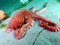 Giant Pacific Octopus