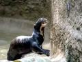 Giant River Otter