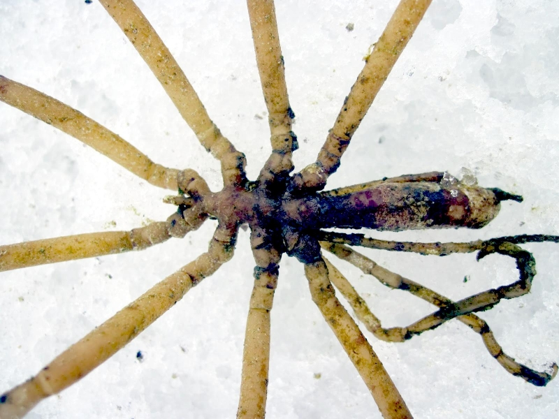 Giant Sea Spider