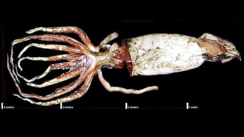 Giant Squid
