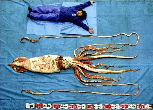 "Giant Squid – ""OCEAN TREASURES"" Memorial Library"