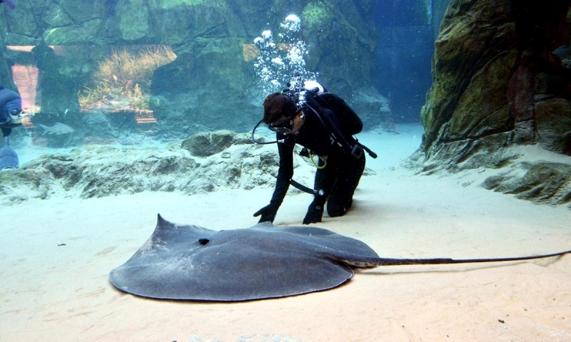 Giant Stingray