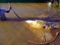 Giant Stingray
