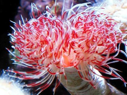 Giant Tube Worm Quot Ocean Treasures Quot Memorial Library