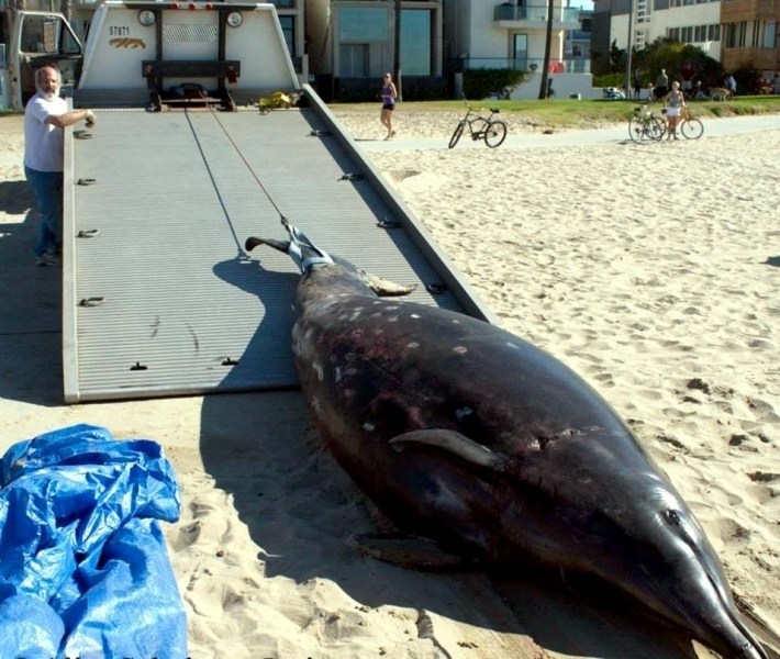 Ginko-toothed Beaked Whale