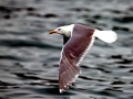 Glaucous-winged Seagull