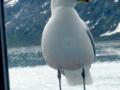 grey-seagul1l.jpg