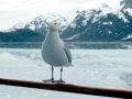 grey-seagull.jpg