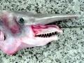 Goblin Shark