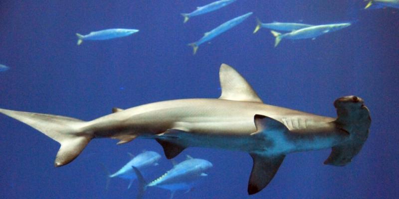 Golden Hammerhead Shark