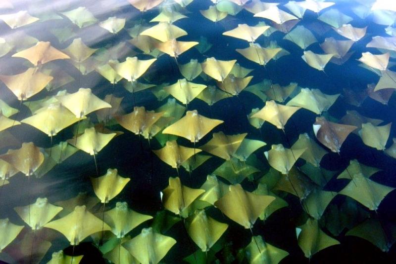 Golden Stingray