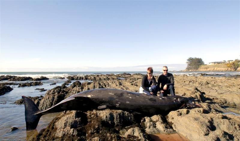 Gray's Beaked Whale