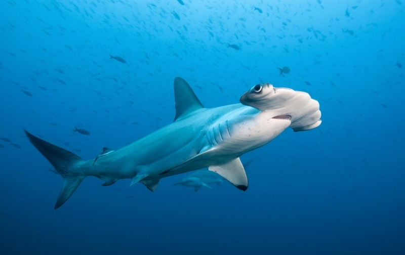 "Great Hammerhead Shark – ""OCEAN TREASURES"" Memorial Library"
