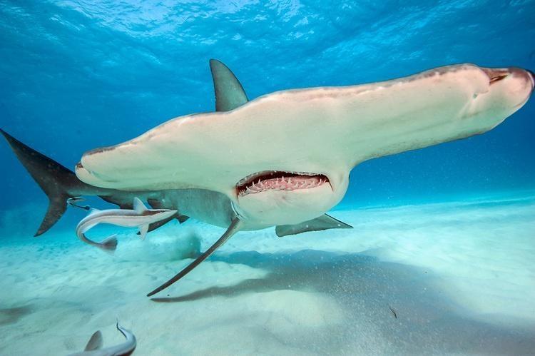 "Great Hammerhead Shark - ""OCEAN TREASURES"" Memorial Library"