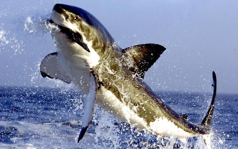 """Great White Shark – """"OCEAN TREASURES"""" Memorial Library"""