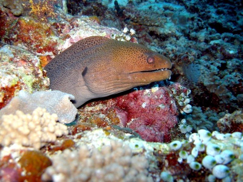 Giant Moray Eel
