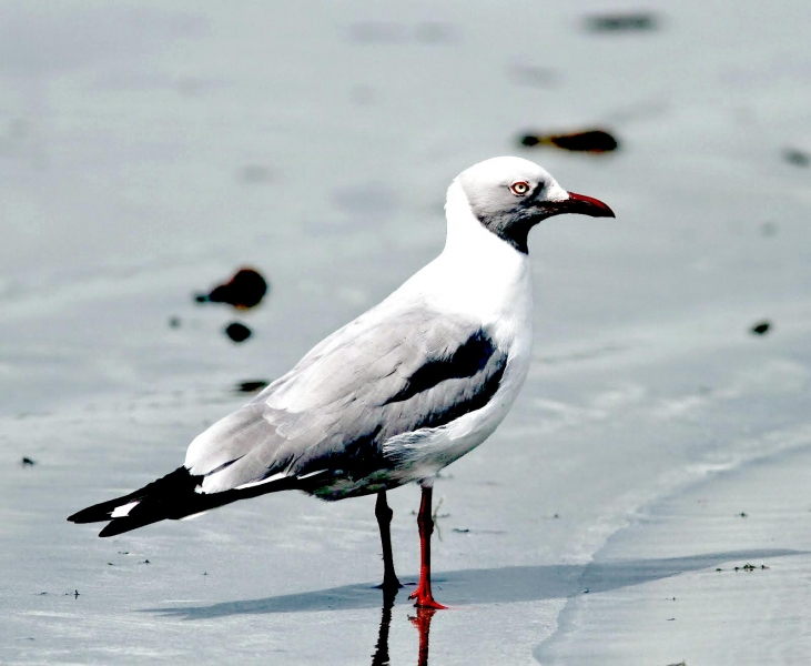 Grey-headed Gull