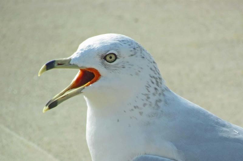 Grey Seagull