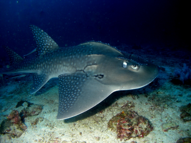 Shovelnose Guitar Ray