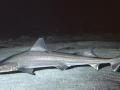 Gummy Shark