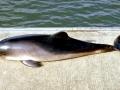 Harbor Porpoise