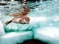 Harp Seal