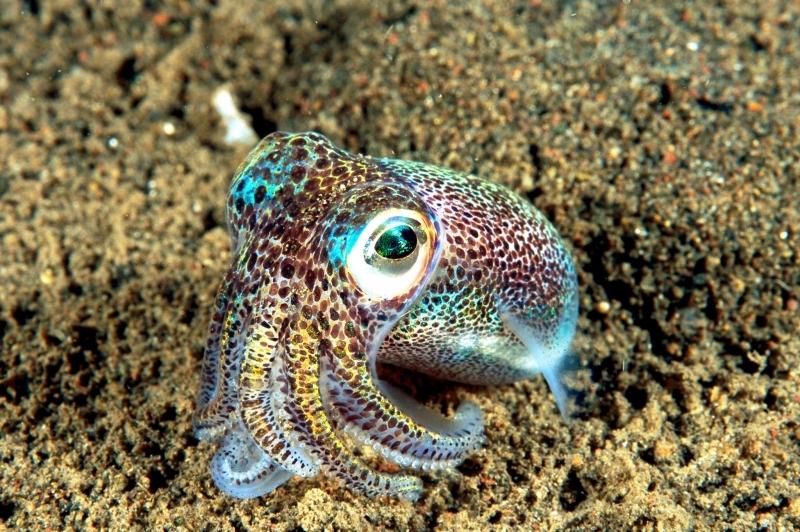 "Hawaiian Bobtail Squid – ""OCEAN TREASURES"" Memorial Library"