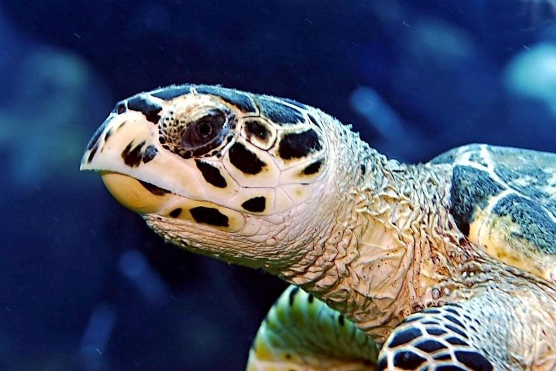 Hawksbill Sea Turtle Quot Ocean Treasures Quot Memorial Library