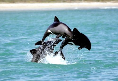 Heaviside dolphin