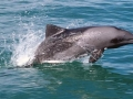 Heaviside's Dolphin